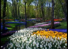 Tulips in the Netherlands. I would be in heaven here!