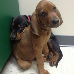 Hound puppies! Black and tan & redbone. So cute, just want to hug them, they look scared