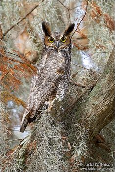 Great-horned Owl by Judd Patterson, via Flickr - they make the most beautiful, gentle sound
