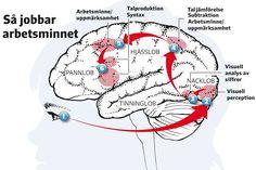 KUNSKAPSEXPLOSION. Hjärnforskningen skulle kunna revolutionera skolan. – Undervisning bör inte utsättas för politiska modenycker utan vila på vetenskaplig grund, säger Torkel Klingberg, aktuell med boken Den lärande hjärnan.