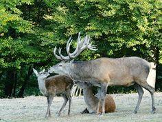 MYSLIVOST: Myslivecké písničky Na tý louce zelený Animals, Exotic Animals, Animales, Animaux, Animal, Animais