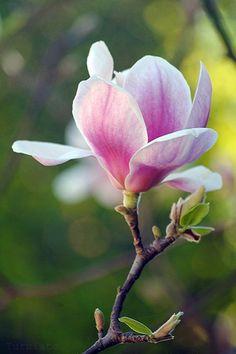 Flowers tulips blossoms 53 Ideas for 2019 Flor Magnolia, Magnolia Trees, Magnolia Flower, Art Floral, Amazing Flowers, Beautiful Flowers, Flower Pictures, Magnolias, Flower Wallpaper