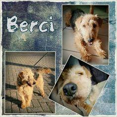 Tönisvorst: Berci 7 Jahre alter Rüde  45 cm super lieb ruhig verschmust verträglich mit seinen Artgenossen