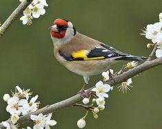 Певчие птицы Украины и их голоса: большая синица, щегол