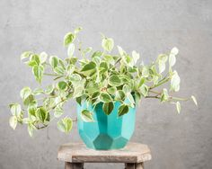 Peperomia Scandens in jewel pot - bright and gorgeous