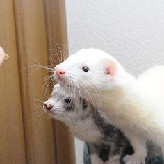 うまうまですよ #ferrets