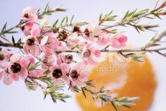 Manuka (Leptospermum scoparium) Tea Tree and Honey royalty-free stock photo Tree Images, Tea Tree Oil, Native Plants, Natural Health, New Zealand, Herbalism, Flora, Royalty Free Stock Photos, Honey