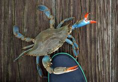 Louisiana Blue Crab (image by Danielle Osfalg) Crab Tattoo, Louisiana Swamp, Blue Crabs, Southern Pride, Fish Farming, Ocean Creatures, Crusts, My Zodiac Sign, Red Paint