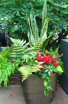Sansevieria trifasciata (Mother in Laws Tongue) Fern, and Red Impatiens