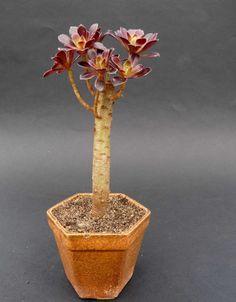 Aeonium 'Atropurpureum'