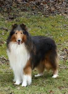 Collies - Yahoo Image Search Results