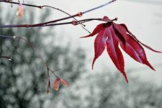 red leaf by Tim Hauser -  Click on the image to enlarge.