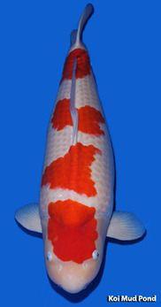 Live koi fish for sale in cebu goldfish for sale in cebu for Grand champion koi for sale