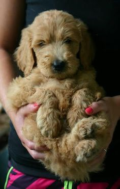My future #goldendoodle