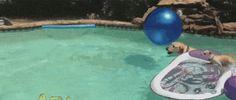 コイツ賢すぎるw プールで泳ぐ親犬の背中に乗って悠々と移動する子犬wwwww