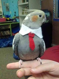 What other bird could look this dapper in eveningwear?
