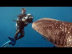 Perhaps the most recognised icon of marine life in the Andaman Sea, the whale shark. Filmed at Richelieu Rock in Thailand, and in Burma's Mergui Archipelago.