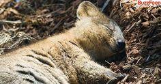 sleeping quokka