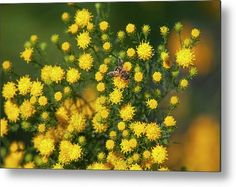 Goldilocks Aster Metal Print by Jenny Rainbow. All metal prints are professionally printed, packaged, and shipped within 3 - 4 business days and delivered ready-to-hang on your wall. Choose from multiple sizes and mounting options. All Flowers, Aster, Got Print, Any Images, Photo Displays, Art Techniques, Fine Art Photography, See Photo, Home Art