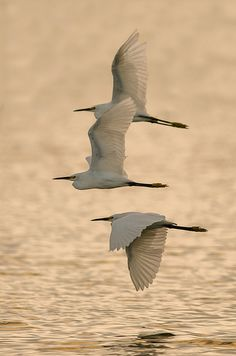 Snowy Egrets | Flickr - Photo Sharing!