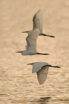 Snowy Egrets | Flickr - Photo Sharing!