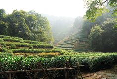 As part of our two-day tour of Hangzhou in China, our second stop by high-speed rail, we enjoyed a bit of longjing tea picking in the hills outside the city.