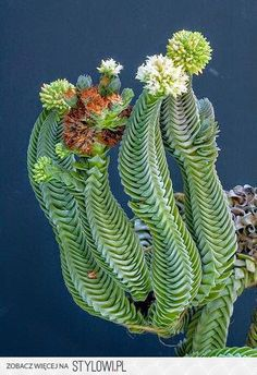 Crassula 'Buddha's Temple' Very Cool!