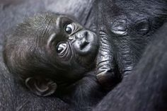 Mawimbi, a western lowland gorilla cub lies in the arm of its mother Mamitu in the Zoo of Zurich, Switzerland, Wednesday, Sept. 19, 2012.