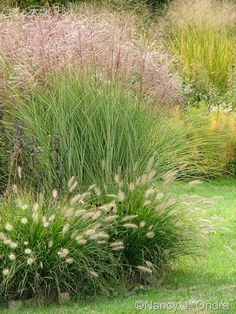 Miscanthus 'Morning Light' with Pennisetum alopecuroides 'Cassian'