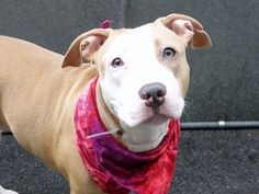 ELLA aka CERSEI - A1068453 - - Manhattan  Please Share:   TO BE DESTROYED 04/06/16 A volunteer writes: Think of an old movie with an elegant and understated lead actress – gorgeous, beautifully made up and coiffed, quiet and unassuming…..that's how I picture our Ella. She's stunning in her well groomed caramel and white coat, shy, quiet, happy to enjoy a treat and come close for some petting. Ella has an injury to her paw which is being treated by ou