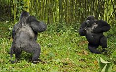 A silverback and blackback gorilla fight in the bamboo forest of Virunga National Park,  Uganda.