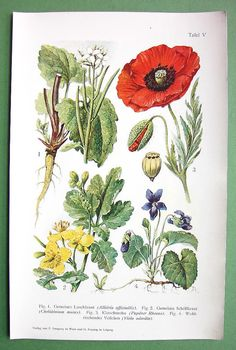BOTANICAL PRINT Field Flowers Garlic mustard, Celandine, Red poppy, Sweet violet - 1900s in Color