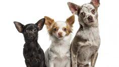 Kleine Hunde - Welche Mythen stimmen, welche nicht? (Foto: fotolia)