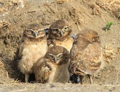 Burrowing Owls (Athene cunicularia) Juveniles. Photo by Danielle Munzing.