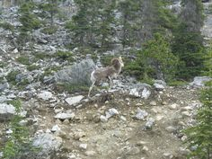 Mountain sheep in B.C. as I enter the Canadian Rockies.