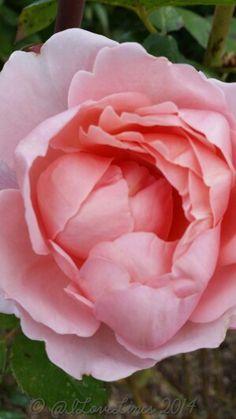Rosa Brother Cadfael