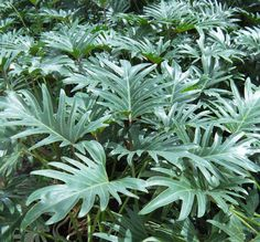 Inspiration: tropical-looking philodendrons. Plant Leaves, Landscaping, Condo, Tropical, Modern, Plants, Projects, Inspiration, Oaxaca