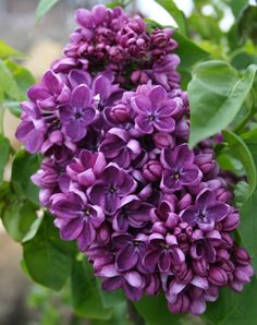 25 Purple Lilac Seeds Tree Fragrant Hardy Perennial Flower Shrub Bloom Spring Early Summer Deciduous Attracts Butterflys Fast Growing Birds by ToadstoolSeeds on Etsy Lilac Tree, Lilac Flowers, Purple Lilac, My Flower, Beautiful Flowers, Dark Purple, Hardy Perennials, Flowers Perennials, Planting Flowers