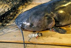 baits will catch all kinds of fish, from bluegills and catfish to smallmouth bass and crappie. Survival Fishing, Camping Survival, Survival Prepping, Survival Kits, Fishing Life, Fishing Bait, Gone Fishing, Catfish Bait, Catfish Fishing