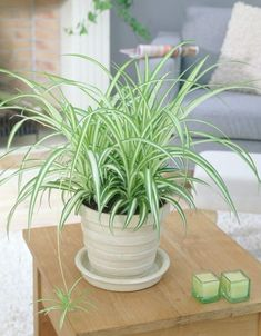 Chlorophytum comosum & (Spider plant or Airplane plant) Best Indoor Plants, Indoor Garden, Garden Plants, Garden Web, Balcony Garden, House Plants Decor, Plant Decor, Spider Plant Benefits, Airplane Plant