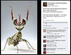 """""""Devil's Flower"""" Mantis"""