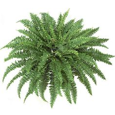 42 inch Self Shaped Artificial Boston Fern Plant: Unpotted from Artificial Plants and Trees
