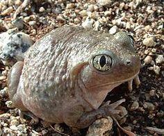 American spadefoot toad - Wikipedia, the free encyclopedia