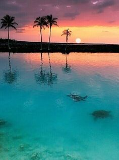 Sea turtles swimming in the bay at sunset. #seaturtle #sunset #hawaii