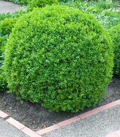 Dwarf English Boxwood.. Partial to full sun and a great hedge!