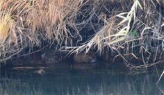 Haberin Ola! | Karasu Nehrinde su maymunları görüntülendi - Iğdır'da Karasu Nehrinde su maymunları görüntülendi