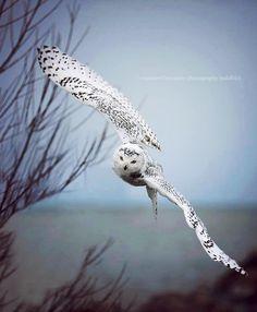 vol de #hibou - #Owl