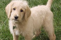 Laberdoodle... Dogs That Don't Shed: 23 Hypoallergenic Dog Breeds