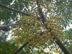 boncuk ağacı