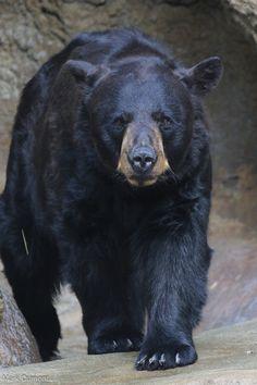 American Black Bear - The Cincinnati Zoo & Botanical Garden Le Castor, Bear Species, Funny Animals, Cute Animals, American Black Bear, Moon Bear, Bear Paintings, Bear Hunting, Bear Tattoos